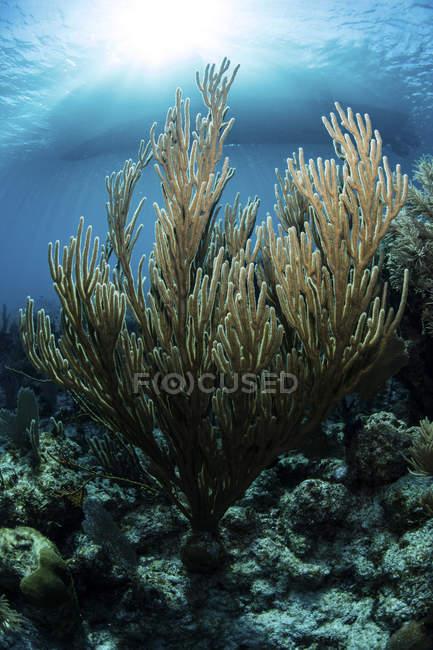 Gorgonien wachsen auf verschiedenen Korallenriffen — Stockfoto