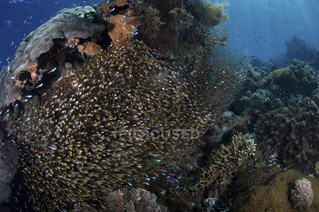 Escuela de oro barredoras sobre arrecifes de coral - foto de stock
