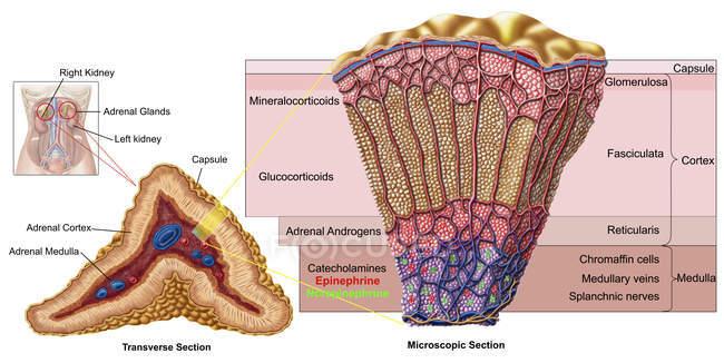 Anatomía de la glándula suprarrenal con etiquetas - foto de stock