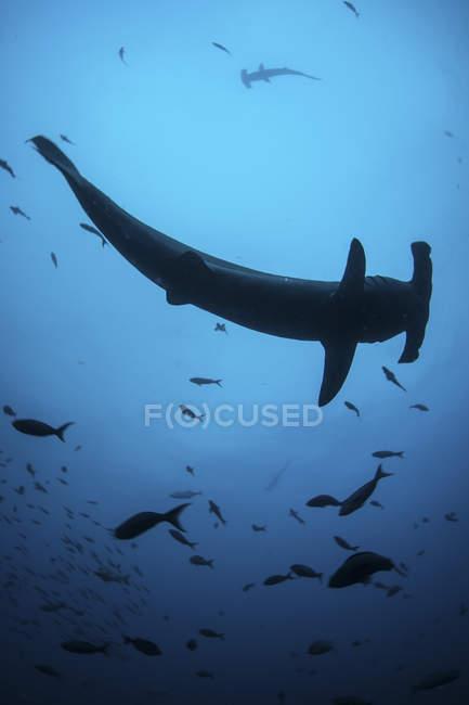 Tubarões-martelo calopados nadando com peixes — Fotografia de Stock