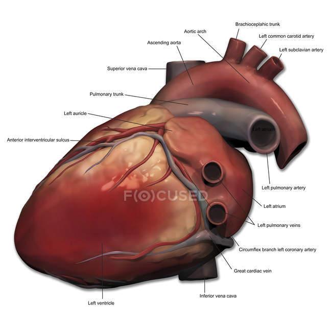 Anatomía del corazón humano - foto de stock