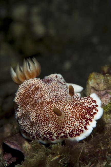 Chromodoris tinctoria nudibranche — Photo de stock
