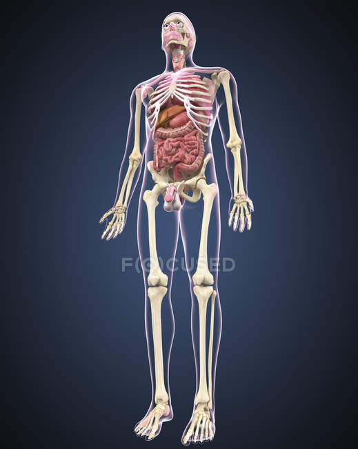 Full length view of male human body with organs — Stock Photo