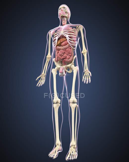 Ganzkörperansicht des männlichen menschlichen Körpers mit Organen — Stockfoto