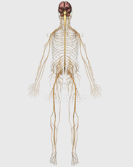 Medical illustration of peripheral nervous system with brain — Stock Photo