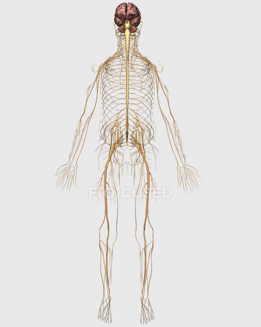 Illustrazione medica del sistema nervoso periferico con cervello — Foto stock