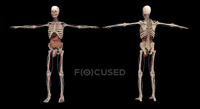3D rendering of human skeleton with internal organs on black background — Stock Photo