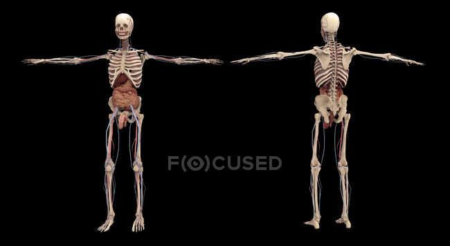 3D-Darstellung des menschlichen Skeletts mit inneren Organen auf schwarzem Hintergrund — Stockfoto