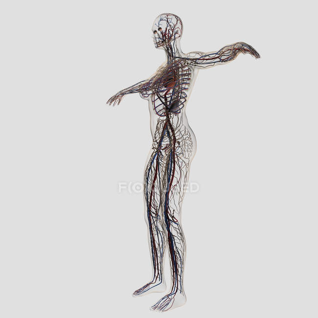 Medical illustration of female arteries, veins and lymphatic system — Stock Photo