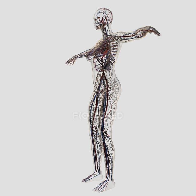Illustrazione medica di femminile arterie, vene e sistema linfatico — Foto stock