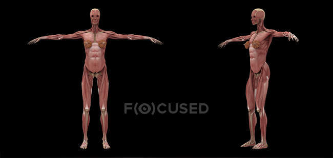 3D rendering of female muscular system on black background — Stock Photo