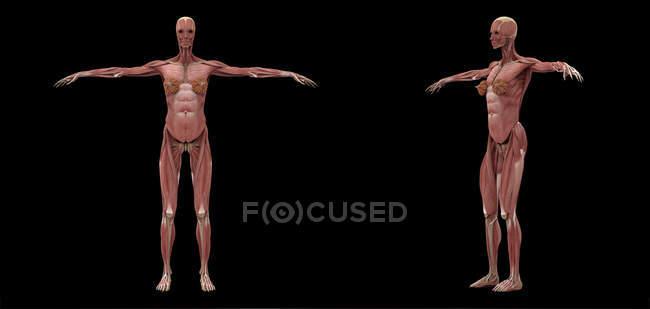 3D рендеринг женской мышечной системы на черном фоне — стоковое фото