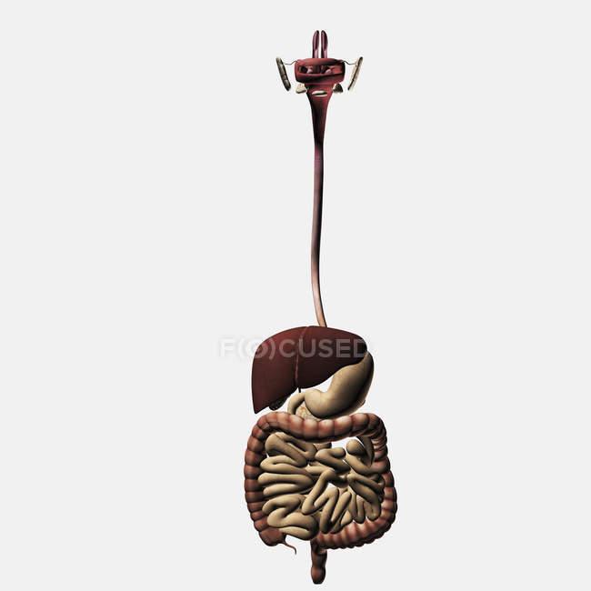 Ilustración médica del sistema digestivo humano, incluyendo cavidad oral, esófago, hígado, estómago, intestinos gruesos y delgados - foto de stock