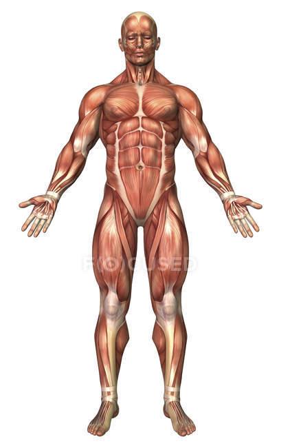 Анатомія чоловічої м'язової системи — стокове фото
