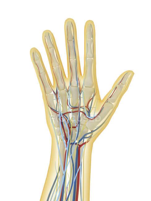 Человеческая рука с нервной, лимфатической и кровеносной системами — стоковое фото