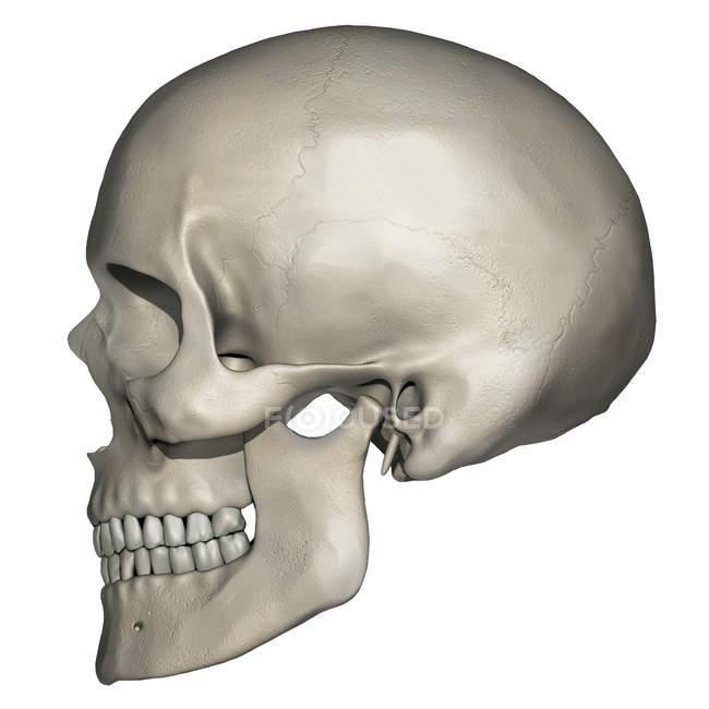 Vista lateral de la anatomía del cráneo humano - foto de stock