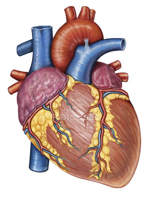 Anatomia bruta do coração humano — Fotografia de Stock