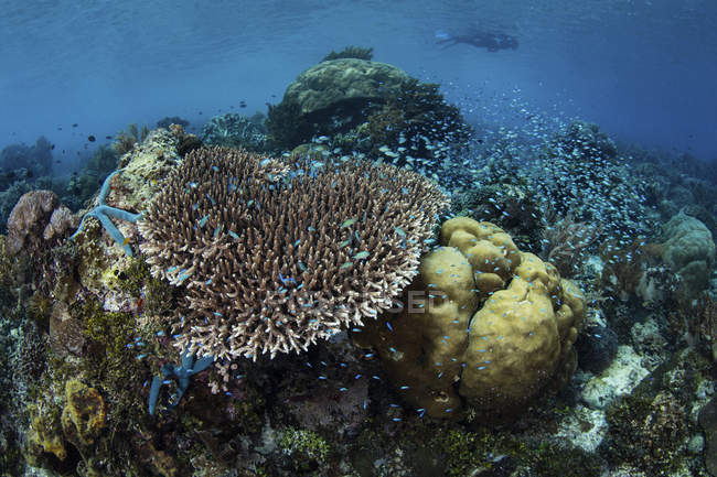 Natación sobre arrecife buceador - foto de stock
