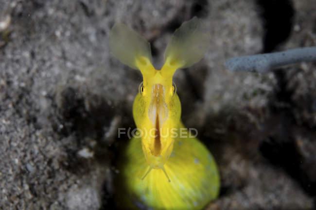 Anguilla a nastro con bocca aperta — Foto stock