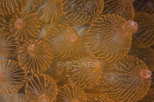 Bulbed anemone closeup shot — Stock Photo