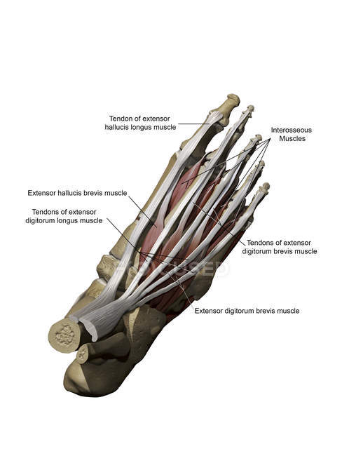 Model of the foot depicting the dorsal superficial muscles and bone structures with annotations — Stock Photo