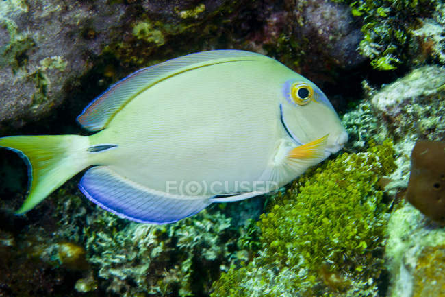 Peces espiga alimentándose de arrecifes de coral - foto de stock