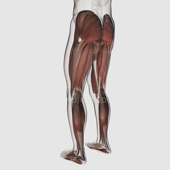 Anatomia muscular masculina das pernas humanas sobre fundo branco — Fotografia de Stock