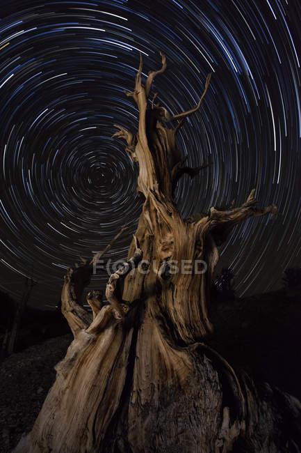 Bristlecone Kiefer mit Sternspuren — Stockfoto
