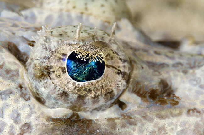 Eye of juvenile crocodilefish — Stock Photo