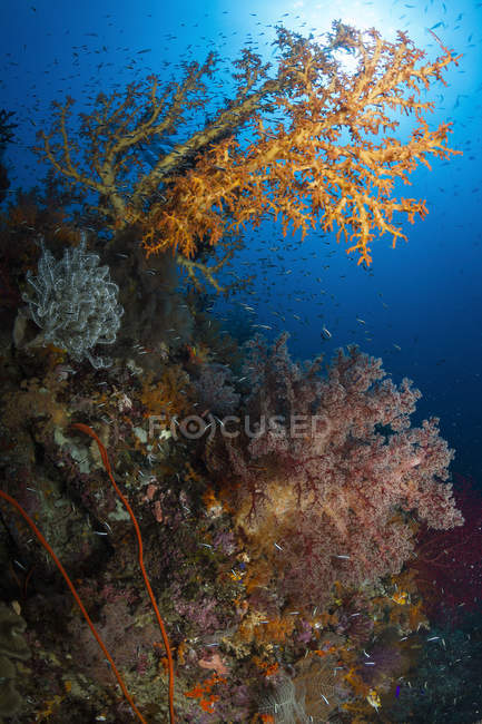 Eventail de mer jaune à Raja Ampat — Photo de stock