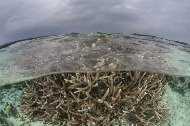 Hirschhorn Korallen Kolonie im seichten Wasser — Stockfoto