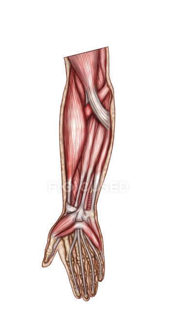 Anatomía de los músculos del antebrazo humano - foto de stock