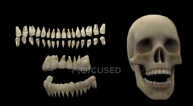 3d Rendering Of Human Teeth And Skull On Black Background Stock
