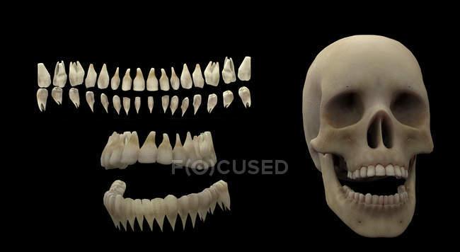 Rendering 3D di denti umani e cranio su sfondo nero — Foto stock
