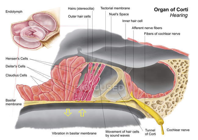 Medical illustration of the organ of Corti anatomy — Stock Photo