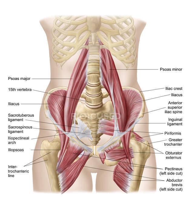 Анатомия подвздошной кости со спинными мышцами бедра — стоковое фото