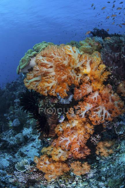 Colonias de coral blando creciendo en los arrecifes - foto de stock