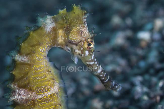 Hippocampus espinhoso no fundo do mar — Fotografia de Stock