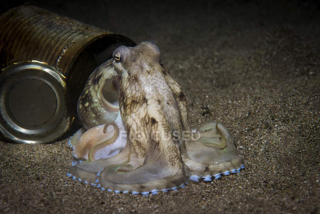 Coconut octopus near opened can — Stock Photo