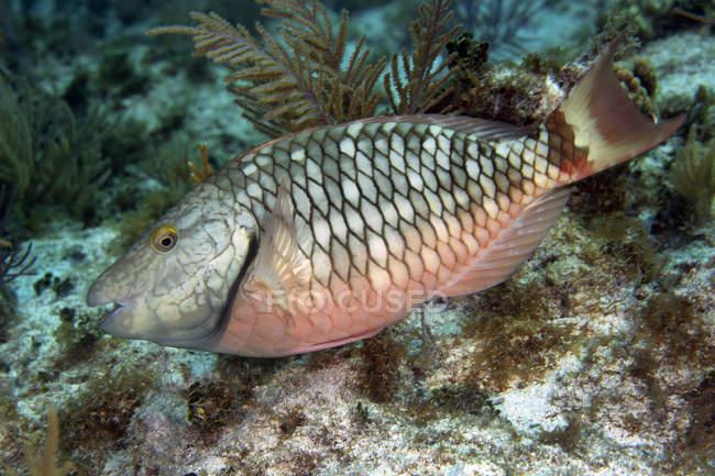 Detener la alimentación de peces loro sobre el arrecife - foto de stock
