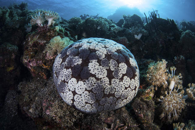 Cojín de alfiler estrella de mar en el arrecife de coral - foto de stock