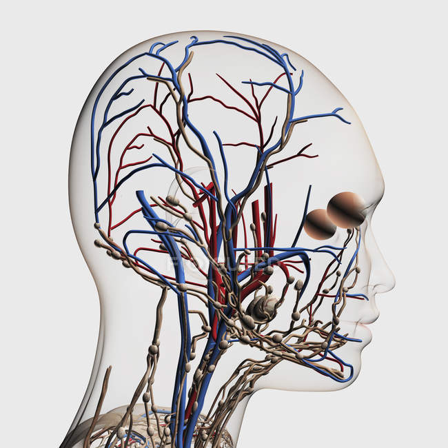 Medical illustration of head arteries, veins and lymphatic system — Stock Photo
