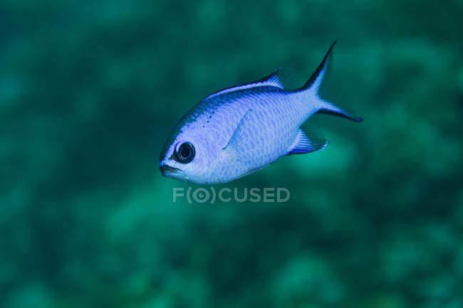 Blu di nuoto Amleto in acque poco profonde — Foto stock
