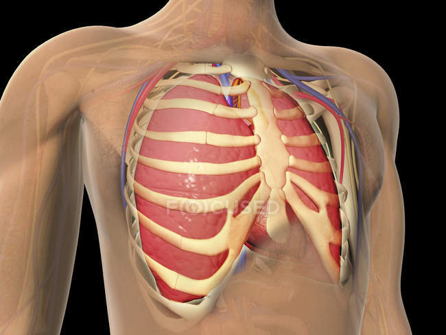 Cutaway View Of Human Lungs And Rib Cage Stock Photo 174715830