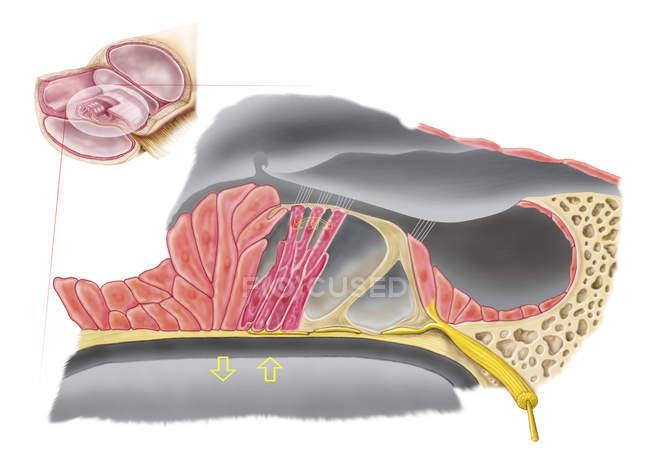 Illustrazione medica dell'organo anatomico di Corti — Foto stock