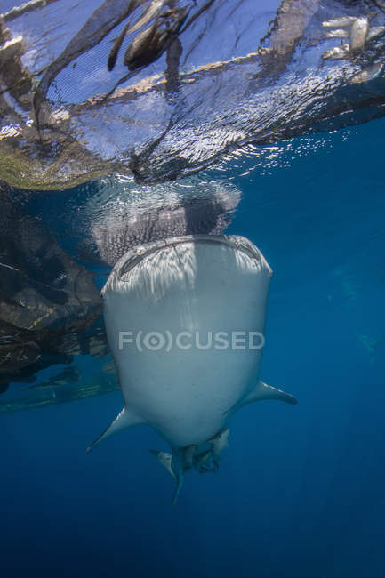 Whale shark swimming under nets — Stock Photo