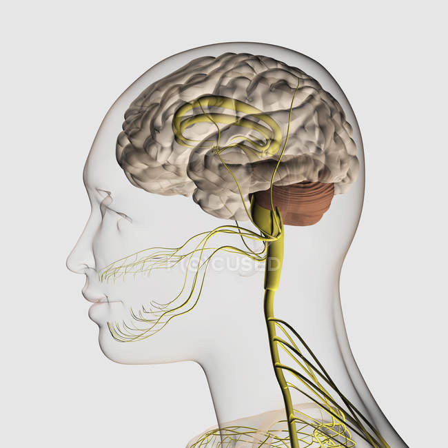 Illustrazione medica del sistema nervoso umano e del cervello — Foto stock