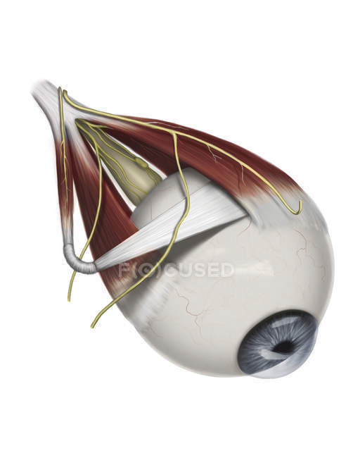 Supramedial eye anatomy showing muscle innervation — Stock Photo