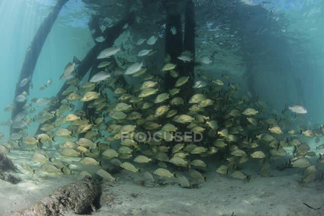 École de poissons grognants sous la jetée — Photo de stock