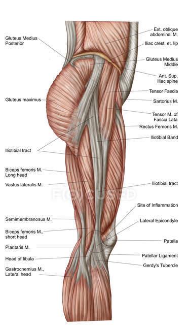 Анатомія людини стегна м'язів етикетки — стокове фото